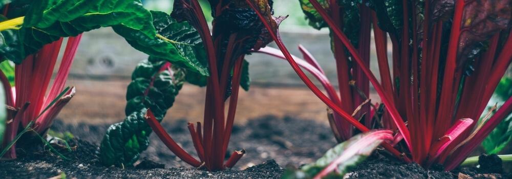 Légumes qui pousse